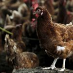 Ayam dan Telur Dimusnahkan Akibat H5N1 di Sungai Bakap?